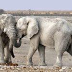 Namibia Elefanten